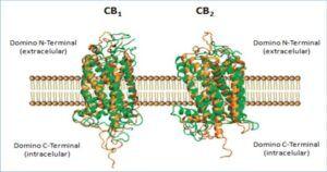 Estructura de los receptores CB1 y CB2