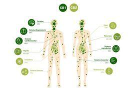 Receptores cannabinoides CB1 y CB2