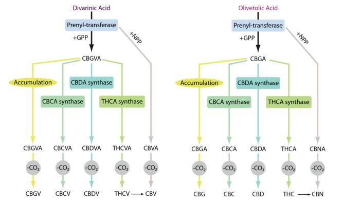 Biosíntesis de los cannabinoides