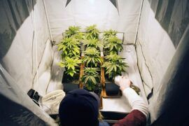 10 consejos para cultivar cannabis