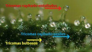 Tipos de tricomas en el cannabis