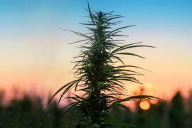 Cannabis silvestre